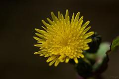 ノゲシ Common sowthistle (takapata) Tags: sony sel90m28g ilce7m2 macro nature flower