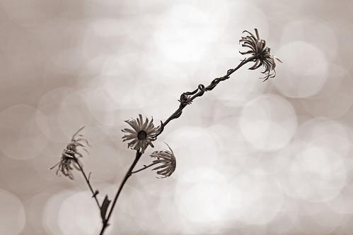 """Quatre fleurs moins le quart • <a style=""""font-size:0.8em;"""" href=""""http://www.flickr.com/photos/125430208@N07/40650945371/"""" target=""""_blank"""">View on Flickr</a>"""
