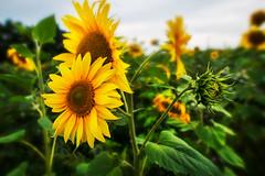 Offene und geschlossene Sonnenblume (SecureTheMoment) Tags: sonnenblume blume pflanzen sommer helianthusannuus korbblütler green sonnenblumenfeld sonne blühte blühen flourish flourished