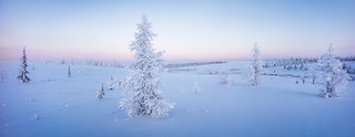Single fir tree panorama