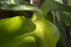 Early Morning Staghorn Fern