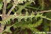 Cirsium engelmannii Rydb. (Luís Gaifém) Tags: cirsiumengelmannii cirsiumfilipendulum asteraceae engelmannthistle engelmannsthistle blackland luísgaifém macro natureza nature planta plantae flor flower laúndos