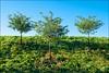 2013-08_DSC_5438_20171220 (Réal Filion) Tags: québec canada nature végétale arbre environnement ciel bleu trois tree sky bleue three vegetable environment quebec