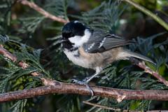 Coal Tit-227 (davidgardiner8) Tags: birds coaltit eastsussex garden tits