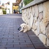 Leaning against cool walls and resting belly on bricks 🐾🐾❤️🐾🐾 (Alex Beattie) Tags: alex beattie althea artisan branding southern california golden retriever english cream retrieves dog