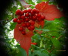 Do we still remember the colors of Fall? (lmarchand59) Tags: shrub berries fall red ripe