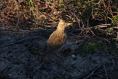 Crested_Lark (hawaza) Tags: bird birds crestedlark riaformosa algarve portugal