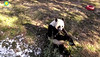 Lovely Mei eating boo  ./qs579.png (heights.18145) Tags: snz pandas beibei tiantian meixiang ccncby