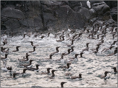Guillemots_1030591 (HJSP82) Tags: 20170519northumberland farne islands seahouses eastcoast rocks seabirds panic rsbp