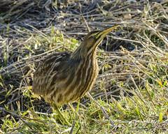 010118 SkulkingBittern 4x (wildcatlou) Tags: nisquallynationalwildliferefuge winter nature pond water grasses bird americanbittern outdoors wildlife