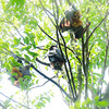 Fruit Bats (Wanda Amos@Old Bar) Tags: flyingfox wandaamos winghambrush animal fruitsbats tree wingham