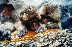 Conversations (moaan) Tags: yamanouchi nagano japan monkey snowmonkey bathingmonkey japanesemacaque monkeybrothers onsen hotsprings jigokudani jigokudanispa jigokudanisnowmonkeypark ricohgxr gxrmounta12 superangulon21mmf34 leicasuperangulon21mmf34 utata 2018