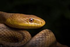 Yellow Rat Snake (Daniel R. Wakefield) Tags: yellow rat snake reptile orange animal wildlife creature creation eastern macro eye scales natgeo dark night black nocturnal