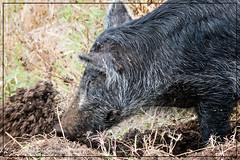 Mom Rooting (photosbylag) Tags: circleb alligators cardinal greenheron hogs piglets