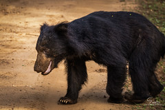 The Sri Lankan sloth bear (evarts123) Tags: bear animal wildlifephotography wildlifephotos wildlife natgeowild nature naturephotography naturephotos srilanka yala yalanationalpark