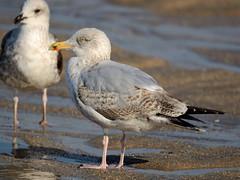 Larus argentatus (Pedro R Martins) Tags: larus argentatus herring gull