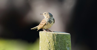 Meadow pipit- Anthus pratensis
