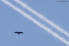 Man V Nature (Gary Woodburn) Tags: black kite migrating migration contrails morocco canon 40d 300mm f4