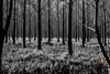 Black & white forest (Orlando Mouchel) Tags: monochrome forêt noiretblanc forest black white einfarbig wald schwarzundweis monocromatico foresta biancoenero monocromo bosque blancoynegro monocromático floresta pretoebranco أحاديةاللون غابة أبيضوأسود монохромный лес чернобелый 单色 森林 黑色和白色 モノクローム 森 黒と白 एकरंगका वन कालेऔरसफेद