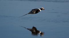 Long-tailed duck (t-omek) Tags: longtailedduck clangulahyemalis lodówka