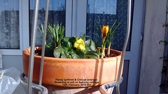 Pansy (yellow) & Crocus (orange) flowering in pot on balcony railings 15th February 2018 003 (D@viD_2.011) Tags: pansy yellow crocus orange flowering pot balcony railings 15th february 2018
