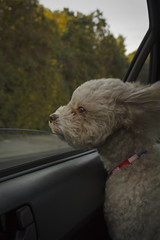 Wind Blowing On My Dog's Face (jeromegomez) Tags: dog car window wind grass trees glass collar red soft eyes blowing blow female ears nose cockapoo young emotion feel mood happy