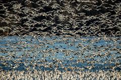 Juntos somos fuertes (Rafael Arvelo C.) Tags: goose white canada pensylvannia snowgeese tundraswans middlecreekwildlifemanagementarea
