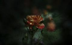 The rain and rose ... (Julie Greg) Tags: rose rain nature flower park garden colours