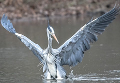 Help! there's a fish in the water (Paul Wrights Reserved) Tags: heron bird birding birds birdphotography birdwatching birdinflight wings wingtips funny caption wingspan spreadwings droplets water lake movement flapping flap beautiful graceful