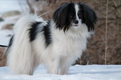 Valle (evisdotter) Tags: valle dog hund pet phalène winter snow sooc