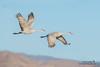 Sandhill Crane (Ray Robles) Tags: sandhill crane bird birdperfect birds birdphotography birdwatching bosque apache birding nikon
