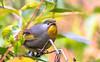 Red-billed Leiothrix (Mohsan Raza Ali Baloch) Tags: brid birdlover birdwatcher birding wild wildlife islamabad outdoor