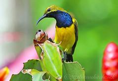 Olive-backed Sunbird - Nectarinia jugularis. Male 10-12 cm (Steve Hitchcock) Tags: olivebackedsunbird nectariniajugularis birdsofaustralia stevehitchcock queenslandbirds