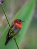 Crimson sunbird with eclipse phase plumage (Robert-Ang) Tags: sunbird watercanna feeding crimsonsunbird plumage swamplily aethopygasiparaja animal wildlife nature jurongecogarden singapore