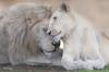Loving_DSC7416 (Mel Gray) Tags: whitelions lion lioness lionpair hunterregion huntervalley huntervalleyzoo newsouthwales australia wildlifepark wildlife nature wildanimals