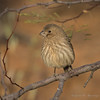 House Finch (Turk Images) Tags: carpodacusmexicanus housefinch saguaronationalparktucsonmountaindistrict arizona birds desert fringillidae hofi tucson winter