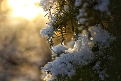 Isdroppar (maj-lis) Tags: sol snö vinter isdroppar droppar is