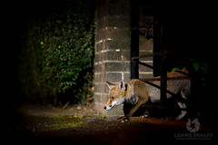 Making a Trail (LawrieBrailey) Tags: red fox urban night photo photography wild animal mammal wildlife photographer street city gate flash nikon d4 nikkor 105mm f14 g lens sb700 offcamera gel vulpes vulpesvulpes iso6400 lawrie brailey uk england britain british london wwwlawriebraileycouk