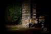 Making a Trail (LawrieBrailey) Tags: red fox urban night photo photography wild animal mammal wildlife photographer street city gate flash nikon d4 nikkor 105mm f14 g lens sb700 offcamera gel vulpes vulpesvulpes iso6400 lawrie brailey uk england britain british london wwwlawriebraileycouk