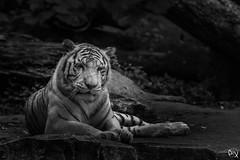 Tigre Blanc (Eric GILLARD | PiX) Tags: beauval zoo tigre tiger noiretblanc bw blanc white pix ericgillard