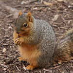 Squirrels in Ann Arbor at the University of Michigan  (January 24th, 2018) thumbnail