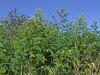 Hemlock (Philip_Goddard) Tags: nature naturalhistory plants floweringplants angiosperms wildflowers umbelliferae apiaceae conium coniummaculatum hemlock europe unitedkingdom britain british britishisles greatbritain uk england southwestengland