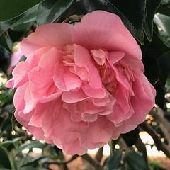 Camellia (Melinda Stuart) Tags: camellia pink petals winter california uc landscape berkeley campus