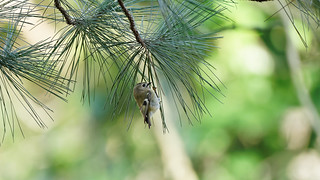 Small & colors (1/2) : a goldcrest in a tree