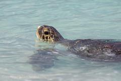 Green Sea Turtle (Chelonia mydas) (Mickspixx) Tags: greenseaturtle cheloniamydas ladyelliotisland beach greatbarrierreef island ocean turtle sea