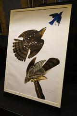 Audubon plate (quinet) Tags: 2017 antik england gemälde london naturalhistorymuseum uk ancien antique museum musée painting peinture unitedkingdom 826