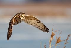 Short-eared Owl - In Flight (Jerry_a) Tags: birds bombayhook raptor birdsofprey owl shortearedowl canon1dxmarkii canon600mmf4isusmii delaware