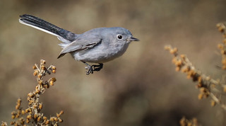 Blue-gray Gnatcatcher Terranea Resort Palos Verdes Peninsula California 048