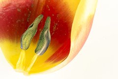 Inside scoop (Karl's Gal) Tags: wow tulip insidetulip unpackaged macro karlsgal highkey wilted