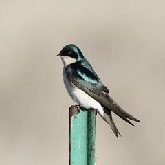 Tree Swallow (jlcummins - Washington State) Tags: bird yakimacounty washingtonstate wildlife toppenishwildliferefuge